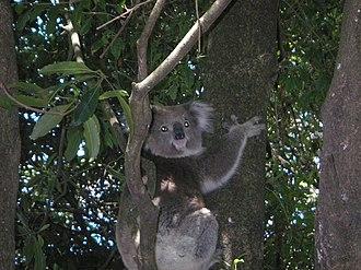 Somers, Victoria - Koala in the Somers Caravan Park.