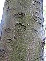 Kora drveta u parku (3).jpg