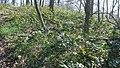 Korina 2019-03-30 Mahonia aquifolium 3.jpg