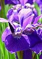 Kosaciec syberyjski. (Iris sibirica L.) 04.jpg