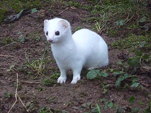 A stoat, or ermine.