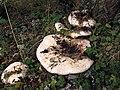Lactarius controversus - Lactario blanco (15316445541).jpg