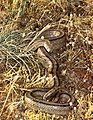 Ladder Snake (Rhinechis scalaris) (35986056770).jpg