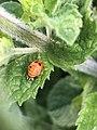 Ladybug in basil leaves.jpg