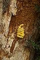Laetiporus sulphureus (29033804784).jpg