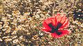 Lale ordubad yaz spring flower cicek svln4821 03.jpg