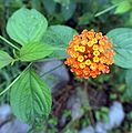 Lantana urticifolia - Flickr - Dick Culbert.jpg