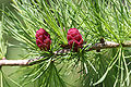 Larix laricina youngcones.jpg