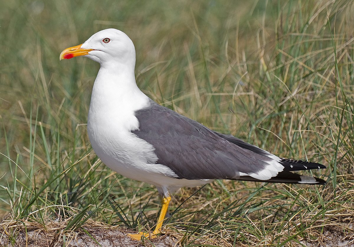 Lesser black-backed gull - Wikipedia