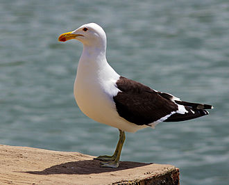 Cabo de Hornos National Park - Image: Larus dominicanus Kenton on Sea, Eastern Cape, South Africa 8