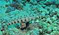Latticed Sandperch (Parapercis clathrata) female (8479253469).jpg