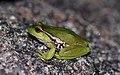 Leaf-Green Tree Frog (Litoria nudidigita) (8397027721).jpg