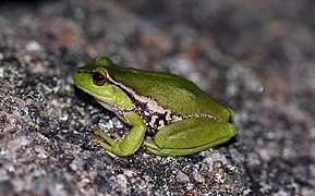 Leaf-Green Tree Frog (Litoria nudidigita) (8397027721).jpg