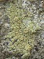 Lecanora polytropa - Flickr - pellaea (5).jpg