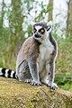 Lemur (36528557422).jpg