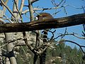 Lemur catta Jerusalem Biblical Zoo073.jpg