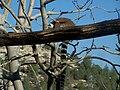 Lemur catta Jerusalem Biblical Zoo073.jpg