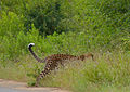 Leopard (Panthera pardus) fugitive appearance (disappearance ?) (12747886534).jpg