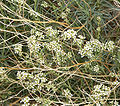 Lepidium fremontii 2.jpg