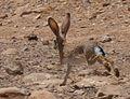 Lepus capensis sinaiticus, Israel 3.jpg
