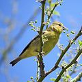 Lesser Goldfinch (18151852182).jpg