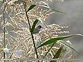 Lesser Whitethroat (Sylvia curruca) (29558633793).jpg
