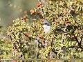 Lesser Whitethroat (Sylvia curruca) (39399599804).jpg