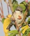 Lesser Whitethroat by Dr. Raju Kasambe DSCN3622 (9).jpg