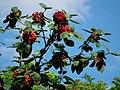 Leuchtend rote Beeren.JPG