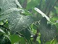Lilac leaves (14492217433).jpg