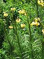 Lilium pyrenaicum002.jpg