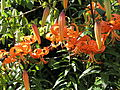 Lilium sp.-IMG 5559.jpg
