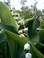 Lily of the valley (151268168).jpg