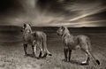 Lion cubs black and white.jpg