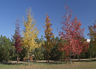 Liquidambar styraciflua - A group of young sweetgum in autumn