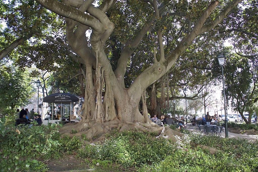 Superbe Ficus macrophylla dans le jardin de Principe Real de Lisbonne - Photo de Patrick Nouhailler