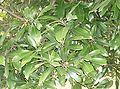 Lithocarpus edulis1.jpg