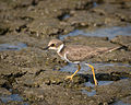 Little Ringed Plover Thailand.jpg