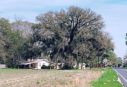Southern live oak and farmhouse near Collins