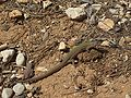 Lizard Croatia March.jpg