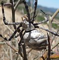 Lobed Argiope. Argiope lobata. Top view - Flickr - gailhampshire (1).jpg