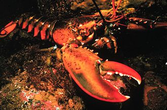 Cuisine of New England - The American lobster, a part of New England cuisine.
