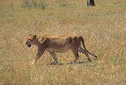 Une lionne à la recherche d'un gibier