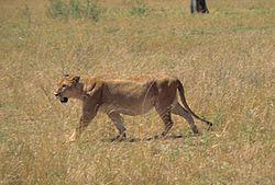 Vie sociale du Lion dans LION 250px-Loewe_2