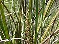 Lomandra longifolia (5085011779).jpg