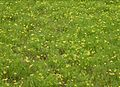 Lomatium bradshawii.jpg