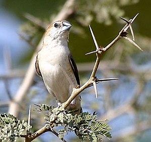 Indian silver beak (E. malabarica)