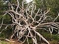 Lotharpfad tree root.jpg