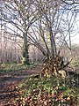 Lower Wood Nature Reserve - uprooted tree - geograph.org.uk - 1614940.jpg