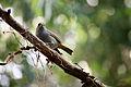 Loxigilla barbadensis in Barbados Wildlife Reserve 04.jpg